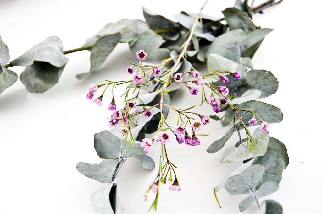 Beneficios Del Eucalipto Blog De Farmacia Ribera